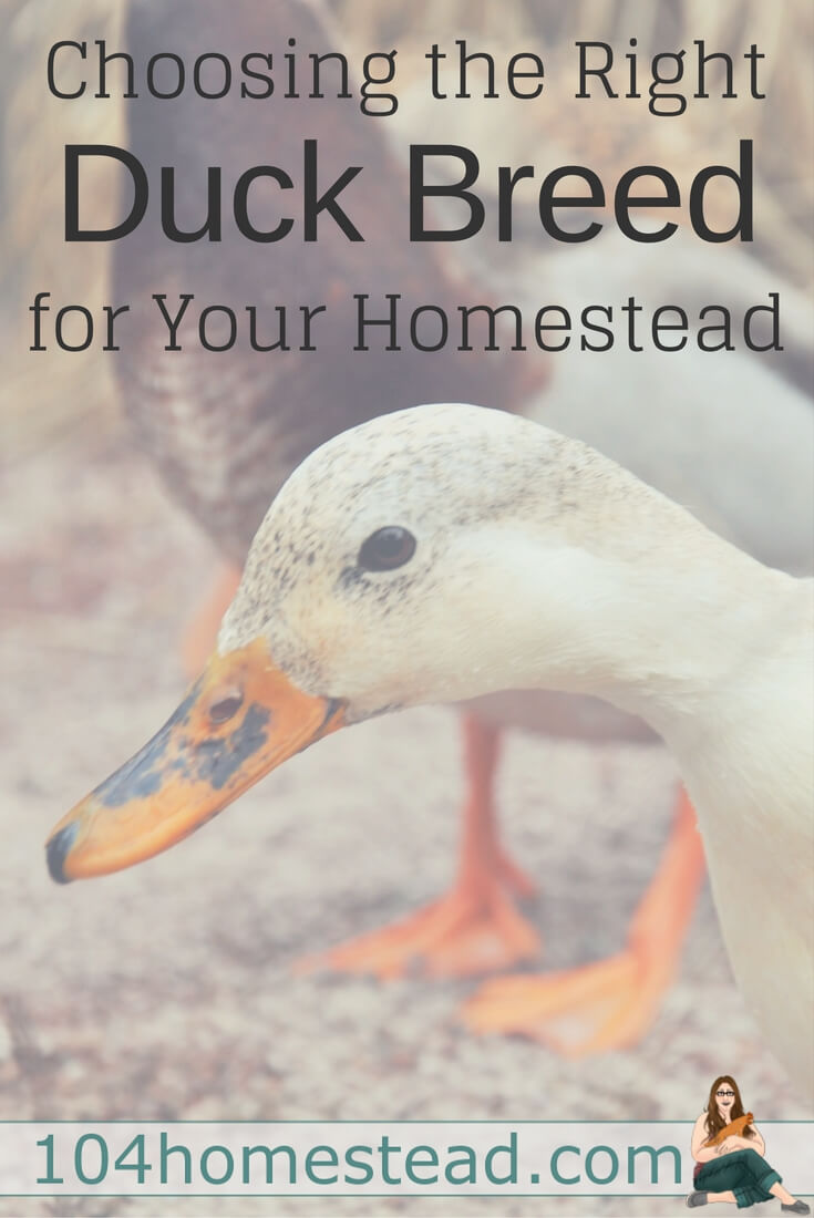 If you plan to raise ducks on your homestead, it is important to choose a duck breed that best suits your particular needs.