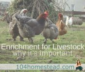 What is Enrichment? How It's Important for Livestock