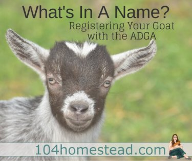 The ADGA's policies for naming your dairy goat are a bit more strict than the AGA's, so those are the ones we are going to discuss.