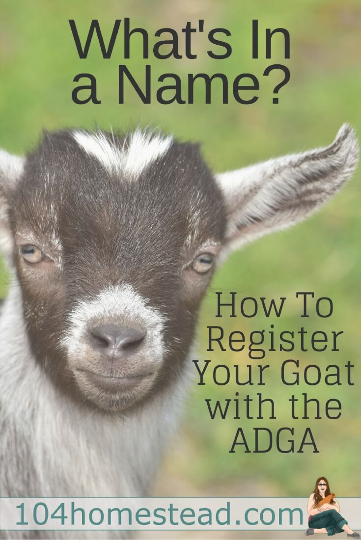 The ADGA's policies for naming your dairy goat are a bit more strict than the AGS's, so those are the ones we are going to discuss.