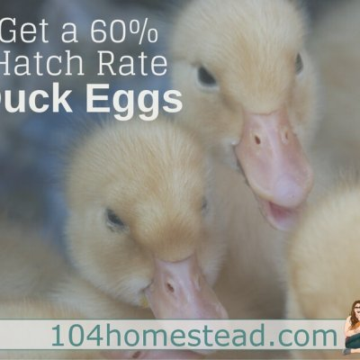 How to Get a 60% Hatch Rate with Duck Eggs