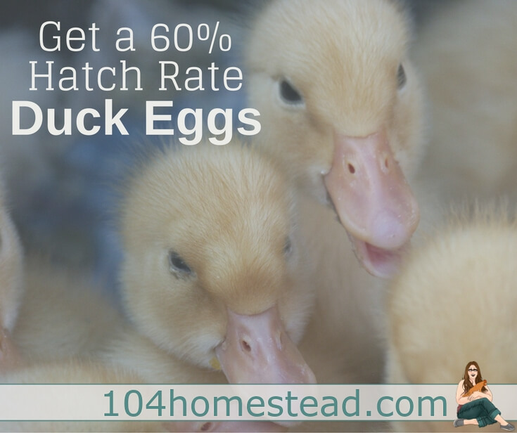 "The things you need to know in order to have a high hatch rate when incubating duck eggs. Plus, how to build ""the best"" homemade incubator."
