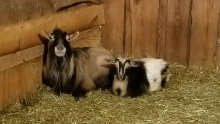 What you're going to be looking for/dealing with throughout the breeding and goat gestation process. Plus, a free Nigerian Dwarf kidding calculator.