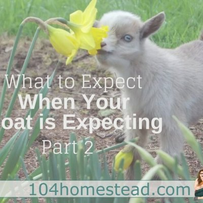 What to Expect When Your Goat is Expecting (Part 2)