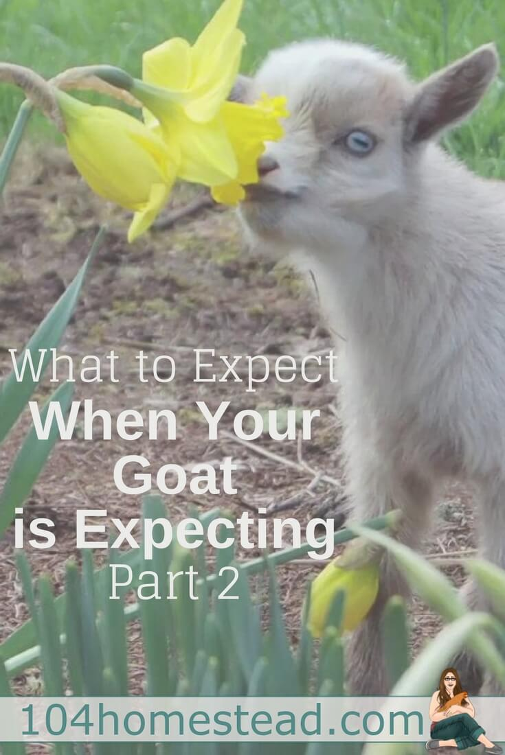 If this is your first time going through the process of breeding and kidding with your goats, this guide will take you from start to finish.