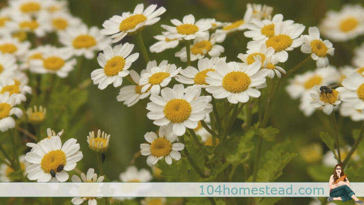 Are you ready to try feverfew (Tanacetum parthenium) for migraines instead of grabbing for Excedrin? A tincture is an easy way to get started.