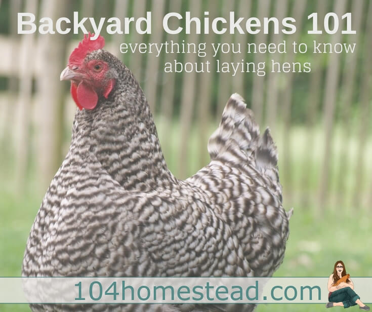 Backyard Chickens 101: Everything you need to know about laying hens