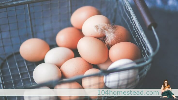 Are you considering raising backyard chickens? Welcome to your one-stop-shop for all things you need to know about laying hens, from hatch to laying.
