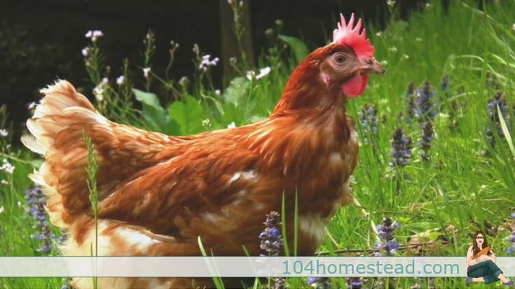 Are You Considering Raising Backyard Chickens? Welcome To Your  One Stop Shop For