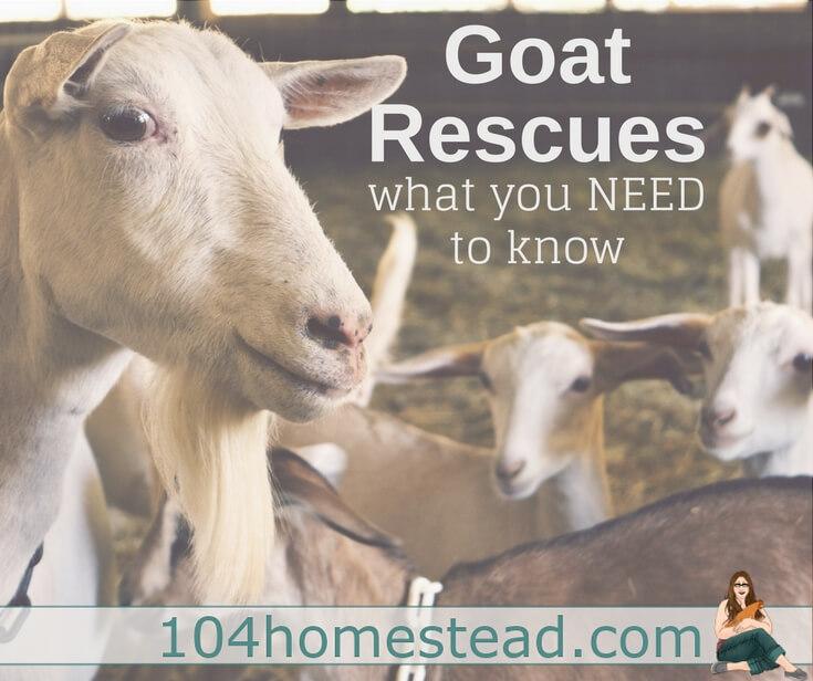 "There are some shady ""rescues"" out there. Here are some things you should be looking for when choosing a goat rescue to donate to or acquire a goat from."