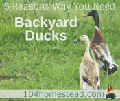 5 Reasons You Need Backyard Ducks on Your Homestead