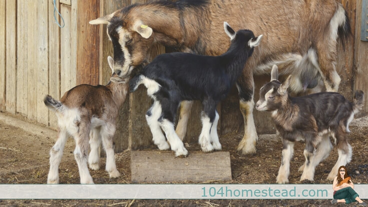 Raising Goats on the Homestead – Assessing Expenses