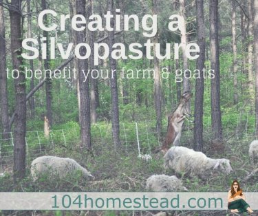 We are looking to expand our homestead by purchasing a gorgeous farm that has everything (except pasture). That's fine for the goats I already have, but it simply doesn't work for my dreams of fiber sheep and a guard llama. With a technique called silvopature, I might just be able to make this work.