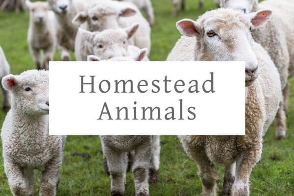 sheep and lambs in a field to represent homestead animals