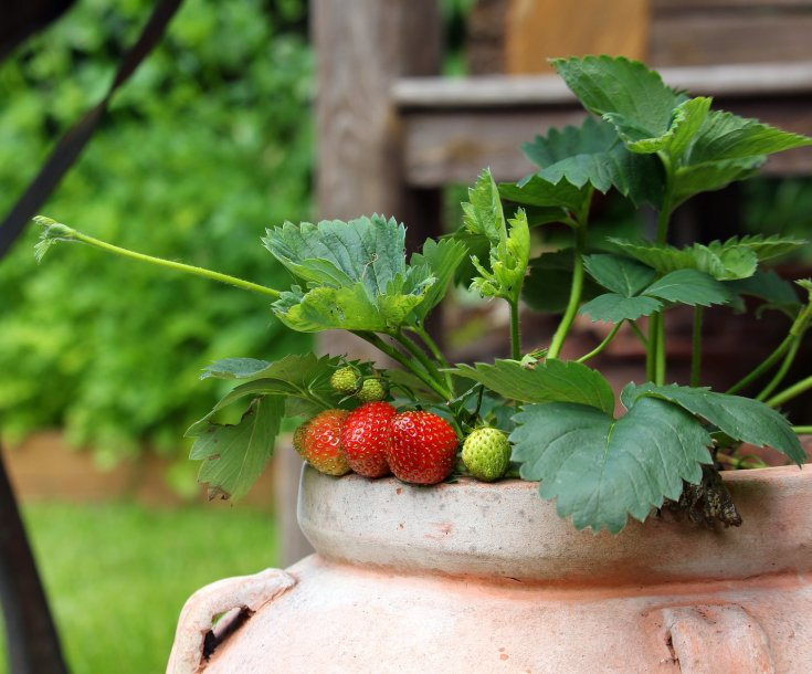 Strawberries just beginning to ripen hanging out of a terra cotta pot.