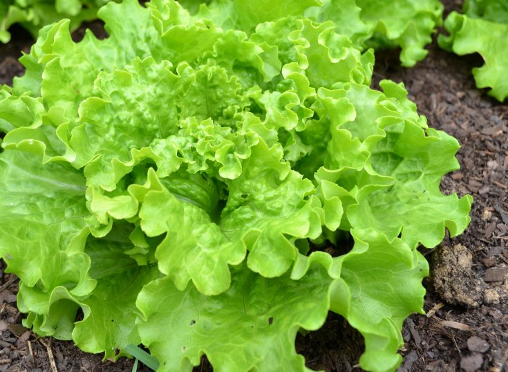 Ruffled head of lettuce growing in a back to eden garden with wood chips.