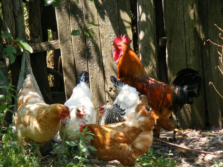 A group of chickens foraging through wood chips in the backyard.