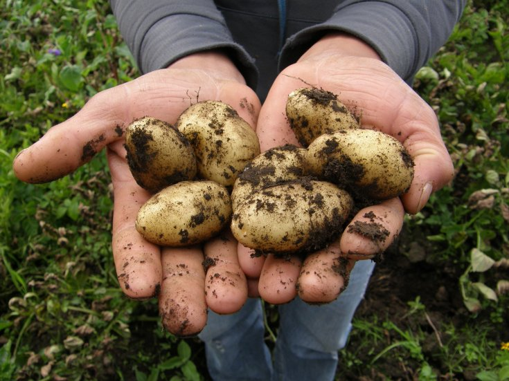 Potatoes being held out in hands towards the camera. Both potatoes and the hands are covered in dirt. Garden background.