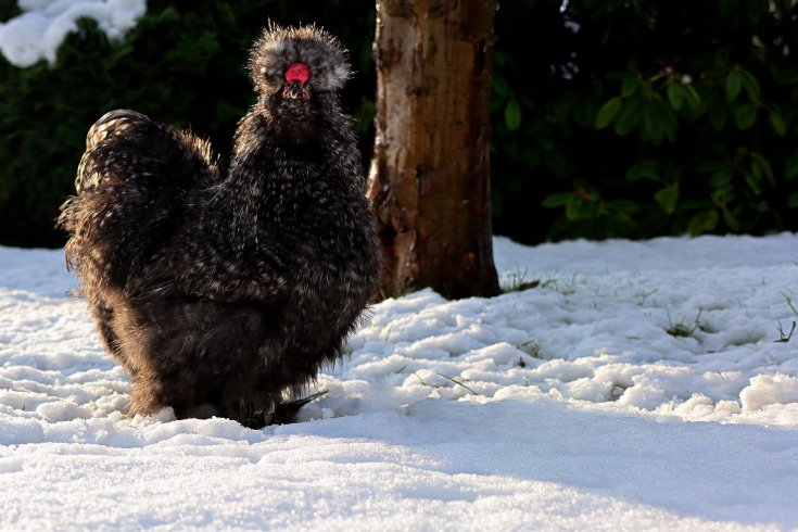 Beautiful black silkie rooster looking at the camera while standing in snow with greenery in the background.