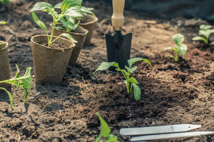 Pepper seedlings in peat pots sitting in the garden and starting to be transplanted.