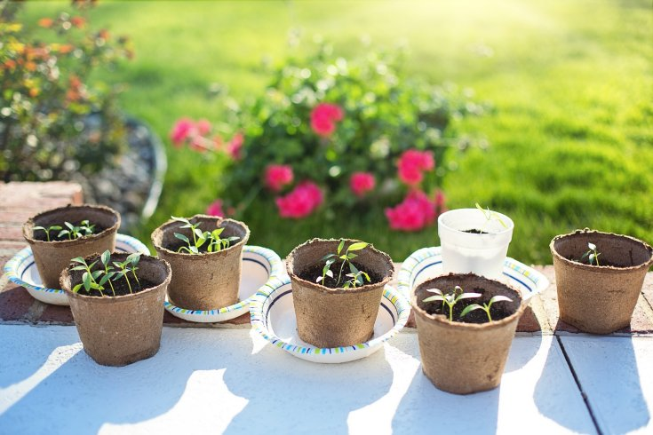 Pepper seedlings in peat pots sitting outside, hardening off, with sunshine on them and flowers in the background.