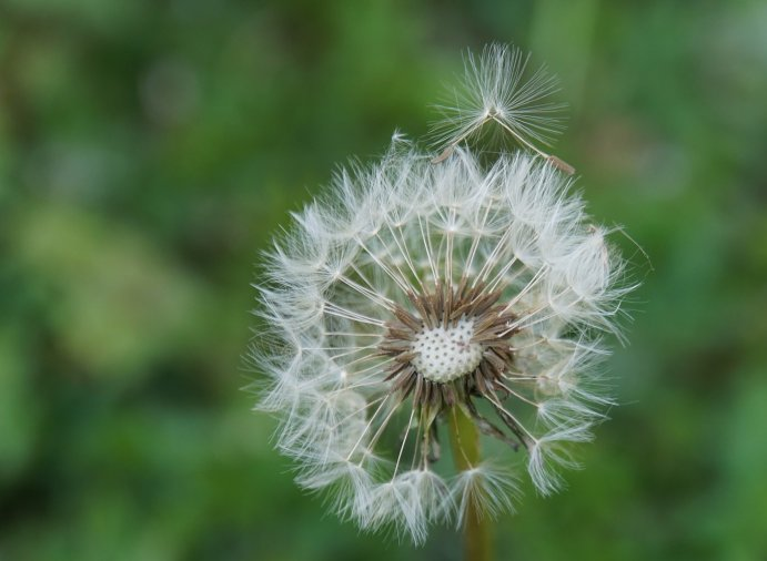 Closeup of a dandelion growing in my back to eden garden. It transitioned to seeds and one seed is about to blow away.