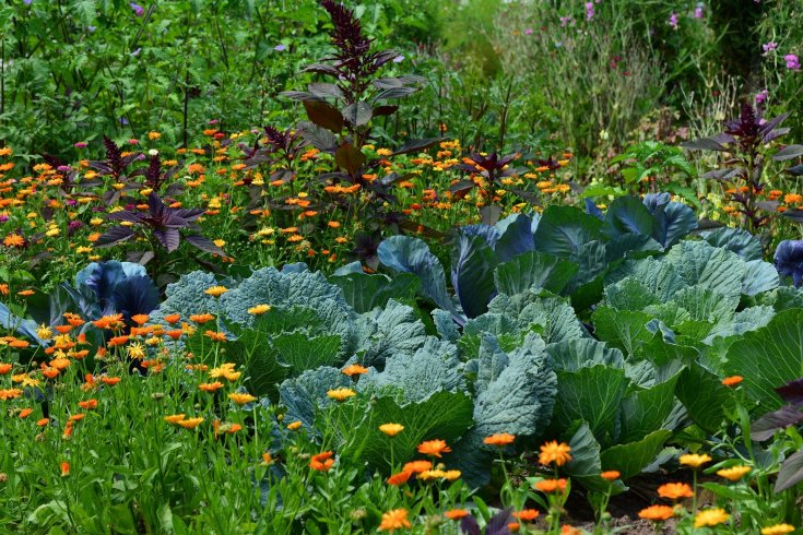 Beautiful sunny garden with calendula and cabbage.